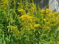 POTTED 1 LITRE SOLIDAGO CROWN OF RAYS (GOLDENROD) GARDEN SUMMER PERENNIAL